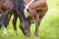 EQUINE-ERIN-HORSE-ILLUSTRATION-4