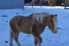 equine-erin-pony-in-winter