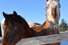 equine-erin-two-horses